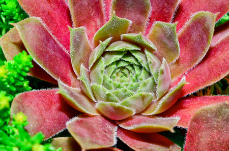 Sempervivum (houseleeks) is a genus of about 40 species of flowering plants in the Crassulaceae family.