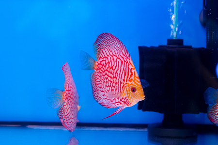 Beautiful Discus fish (Symphysodon)