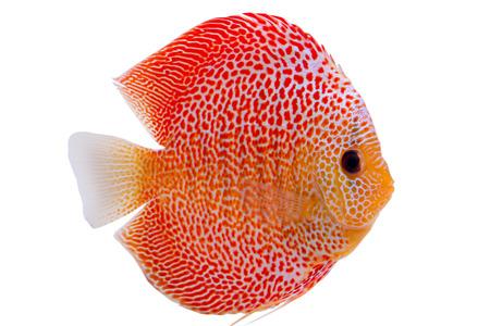 Beau poisson Discus Penang Eruption (Symphysodon)