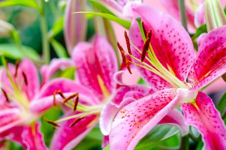 Close-up of Stargazer Lily Flower Stock Photo
