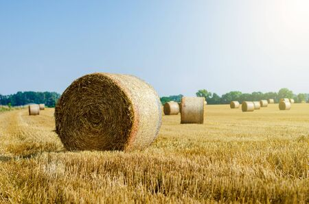 Rolled up hay bales on wheat field or dry meadow after harvest in rural agricultural area.