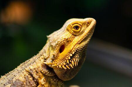 Pogona vitticeps, le dragon barbu central (ou intérieur), est une espèce de lézard agamide présente dans une large gamme de régions arides à semi-arides d'Australie. Banque d'images