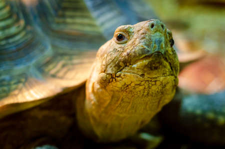 Close-up of African spurred tortoise. Stockfoto