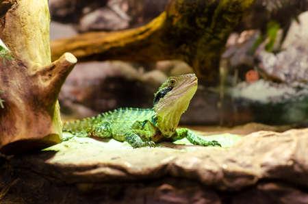 The Australian water dragon (Intellagama lesueurii) Stockfoto
