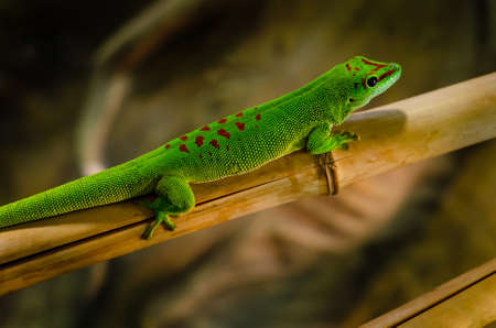 Phelsuma madagascariensis is a species of day gecko that lives in Madagascar. Stockfoto