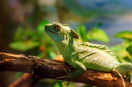 The common basilisk (Basiliscus basiliscus) is a species of lizard in the family Corytophanidae.
