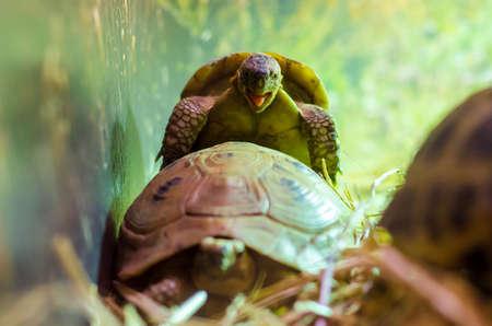 Turtles Mating. The Greek tortoise (Testudo graeca) 版權商用圖片