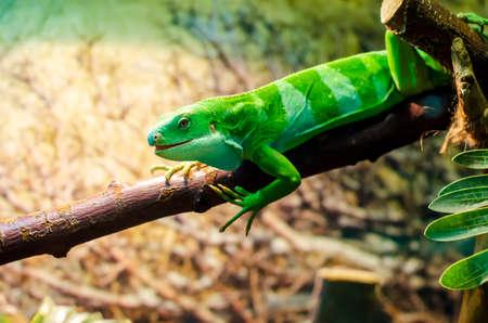 The Lau banded iguana (Brachylophus fasciatus)