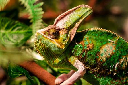 The veiled chameleon (Chamaeleo calyptratus). Other common names include cone-head chameleon and Yemen chameleon.