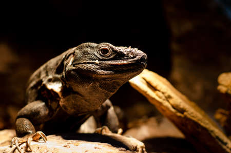 Ctenosaura pectinata, commonly known as the Mexican spiny-tailed iguana or the Mexican spinytail iguana