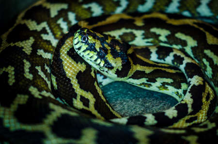 Morelia spilota cheynei, or the jungle carpet python