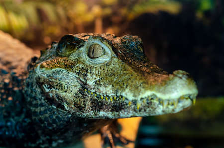 The spectacled caiman (Caiman crocodilus), also known as the white caiman, common caiman.