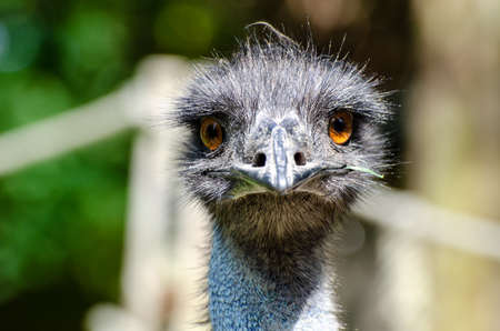 The emu (Dromaius novaehollandiae) is the second-largest living bird by height, after its ratite relative, the ostrich. Stock fotó