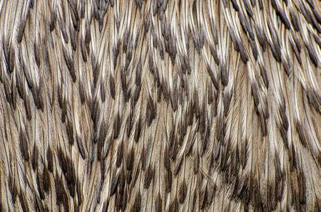 The emu (Dromaius novaehollandiae) feathers background