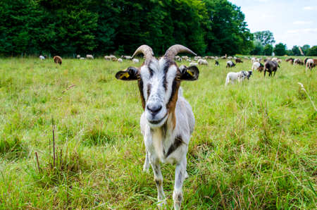 Goats and sheep in same pasture Stock fotó