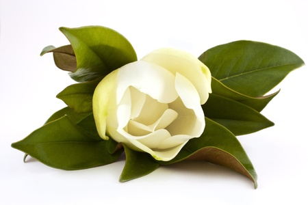 beautiful white magnolia flower isolated on white photo