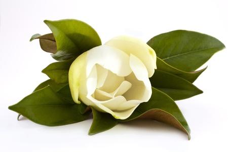 hermosa flor de magnolia blanca aislado en blanco