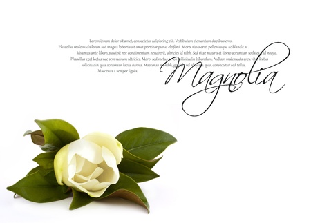 the magnolia: beautiful white magnolia flower isolated on white with copy space  Stock Photo