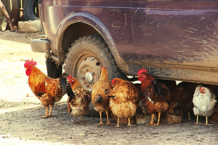 Animal chickens are saved in the shadow of the car from the sun. Summer heat, abnormal heat