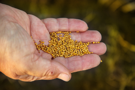 siderats. mustard seeds in the hand of a old man woman. Concept of eco-friendly soil fertility restoration. Organic fertilizer.