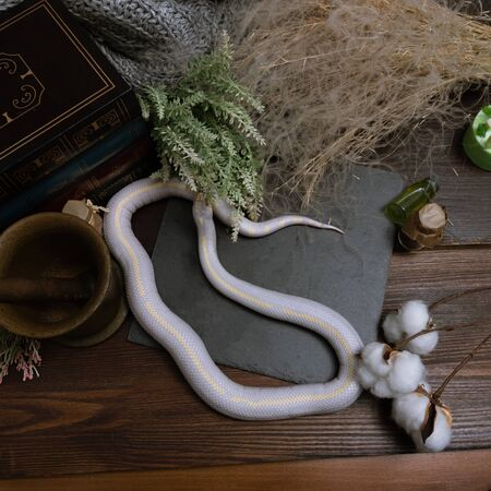White American royal snake on the background of witchcraft accessories, alchemical instruments and ingredients. Mock up of empty tile dark slate. herbs, mortar, feather and cotton bolls. Halloween. Stock Photo