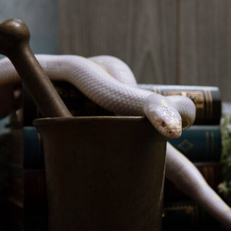 White American royal snake on an alchemical bronze mortar on the background of witchcraft accessories,instruments and ingredients.Symbol of alchemy and medicine Halloween.