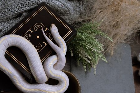 White American royal snake on the background of witchcraft accessories, alchemical instruments and ingredients. Mock up of empty tile dark slate and old books. Halloween.