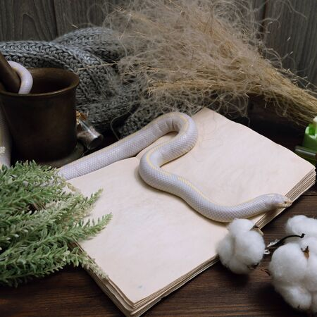White American royal snake on the background of witchcraft accessories, alchemical instruments and ingredients. Mock up of an open magic book. herbs, mortar, feather and cotton bolls. Halloween.