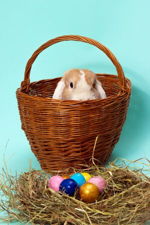 easter bunny and colorful eggs on hay in basket on blue background.