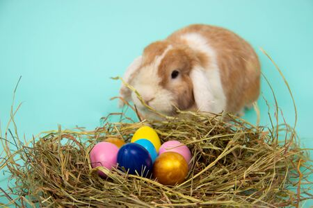 easter bunny and colorful eggs in nest on hay in basket on blue background.
