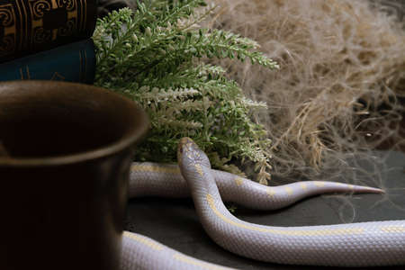 White American royal snake on an alchemical bronze mortar on the background of witchcraft accessories,instruments and ingredients.Symbol of alchemy and medicine Halloween