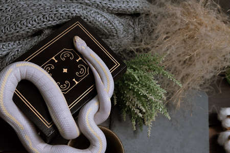 White American royal snake on the background of witchcraft accessories, alchemical instruments and ingredients. Mock up of empty tile dark slate and old books. Halloween