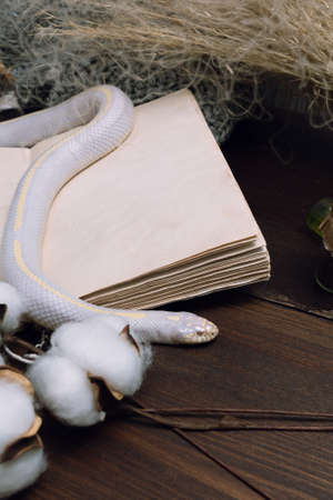 White American royal snake on the background of witchcraft accessories, alchemical instruments and ingredients. Mock up of an open magic book. herbs, mortar, feather and cotton bolls. Halloween