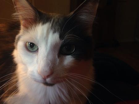 eye: Turkish angora cat