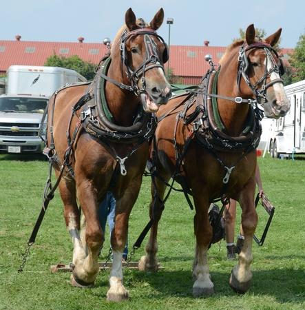 Belgium Horses Publikacyjne