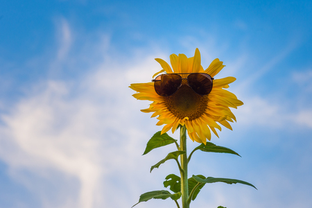 sunflower with old-style dark glasses, on a background of sky with white clouds.