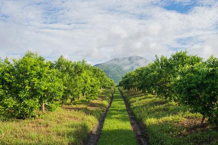 Orange tree - Orange Farm in fang district,chiangmai,thailand. Stock Photo