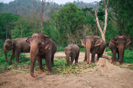 Asia elephants in Chiangmai,Thailand.