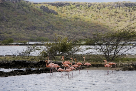 caribbeans: Group of pink flamingos , one in forground, one in Background on Curacaos only lake  Stock Photo