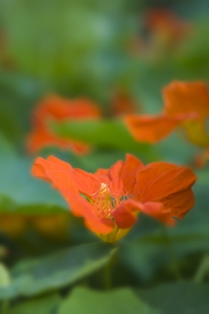 summergarden: Cirise Nasturtium in focus with unsharp flowers and leafes as a nice pattern in the background