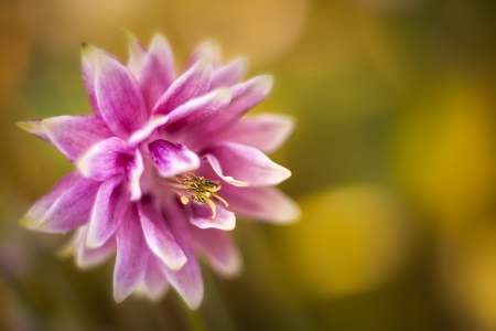pink columbine: Macro shot of pink columbine against soft golden - green background Stock Photo