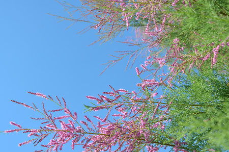 Branch of pink flowers of Tamarix on blue sky. Soft selective focus. Natural template with text place. Reklamní fotografie