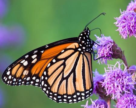 plexippus: Monarch Butterfly (Danaus plexippus) on lavendar coloured Blazing Star (Liatris) at a Buterfly Garden Stock Photo