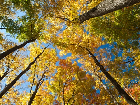 maple trees: Looking up from the ground at tall maple trees in autumn colour