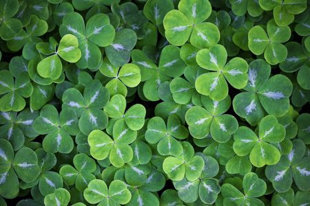 Shady Clover Patch Stock Photo - 2934947
