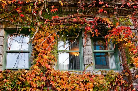 ivy wall: Windows on Old Building Covered in Red Boston Ivy