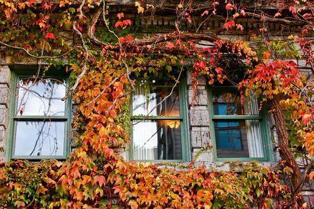 ivies: Windows sul vecchio edificio coperto in Red Boston Ivy Archivio Fotografico