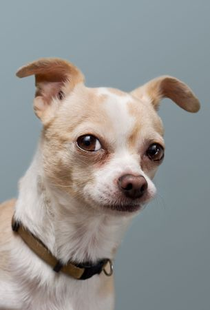 perky: Curious Chihuahua with Perky Ears Stock Photo