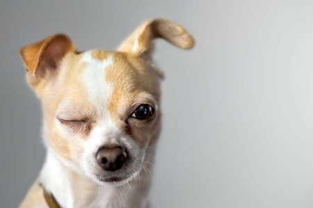 Chihuahua Winks As If To Say Hello photo