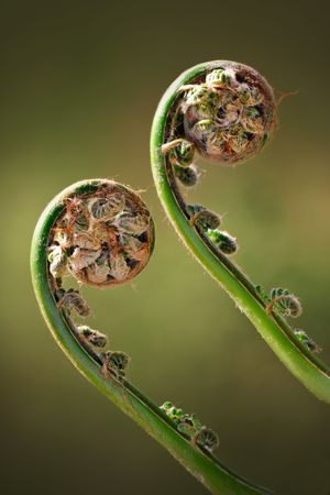 foliage frond: Two Green Fiddleheads